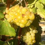 ripe-chardonnay.jpg